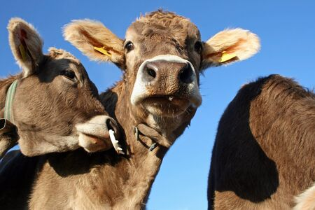 Young dairy cows Stock Photo - 16627182