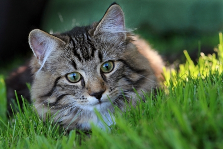 beautiful cat: Hunting in the grass
