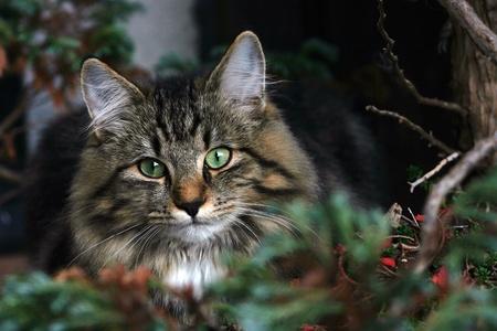 lie forward: Young Norwegian cat in hiding