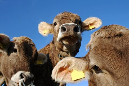 Young curious dairy cows Stock Photo