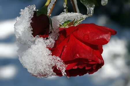 onset: An early onset of winter roses can ever gotten snow Stock Photo