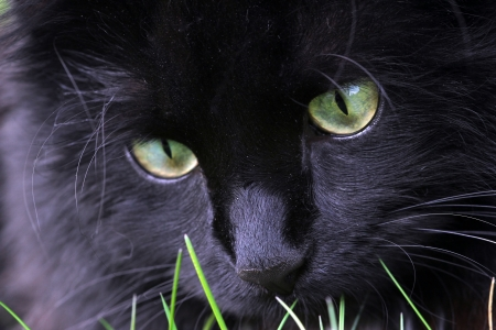 Closeup of a black cat at play