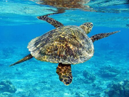 large turtle: Underwater photo of a turtle in the Maldives