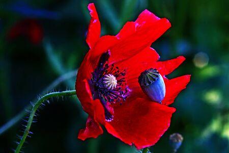 Rohte poppy flower with a verblüten Mohnknospe Stock Photo - 16670941
