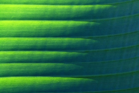 Background - Close up of a banana leaf Stock Photo - 16671009