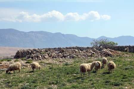 Flock of sheep on the island of Pag in Croatia