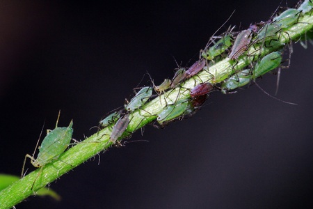 unloved: Unloved insects - aphids on a plant Stock Photo