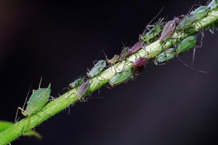 ungeliebt: Unloved Insekten - Blattl�use auf einer Pflanze
