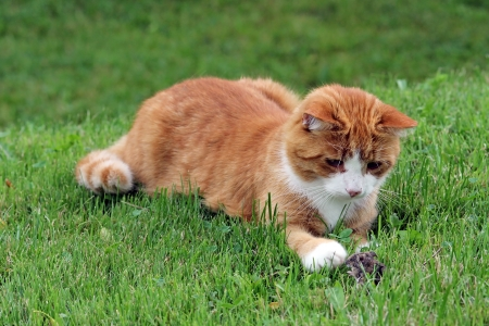 The red cat and mouse Stock Photo - 16700702