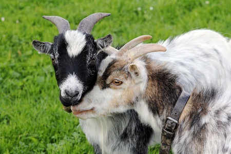 Affection among goats Stock Photo