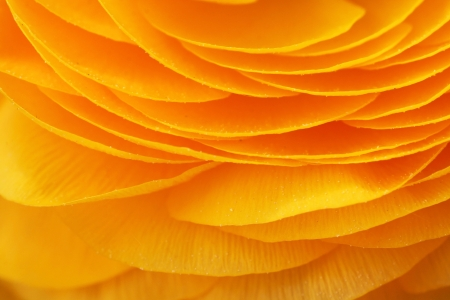 Close-up of a yellow flower Ranunculus