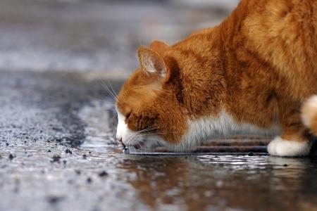 Een rode kat drinkt regenwater