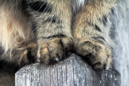 Cat paws a Norwegian Forest Cat photo