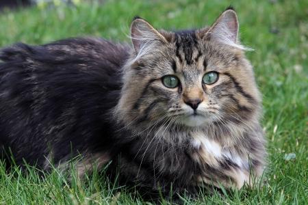 lie forward: A pretty young Norwegian cat
