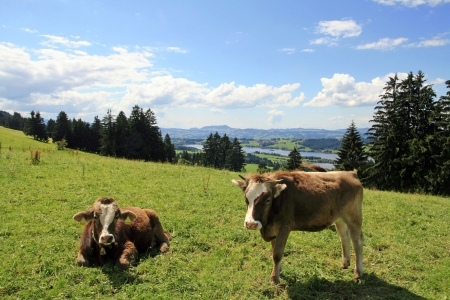 peasantry: Two calves in a Bavarian meadow Stock Photo