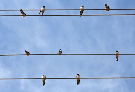 Swallows on the power cord Stock Photo