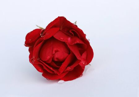 Still Life - a beautiful red rose Stock Photo - 16865618