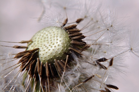 Close up of a withered dandelion photo