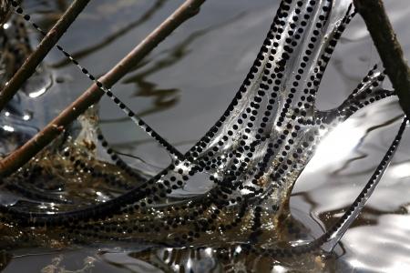 spawning: L�neas de desove sapos en p�ramo Foto de archivo