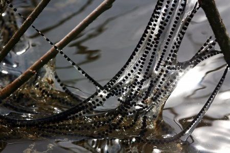 Lines of spawning toads on moor Standard-Bild