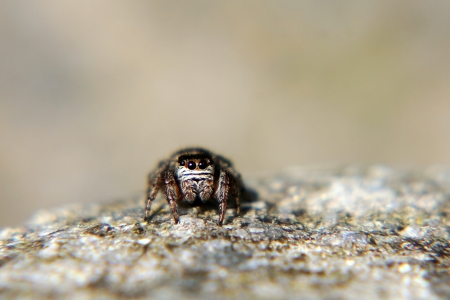 A zebra spider to catch prey Stock Photo - 16934720