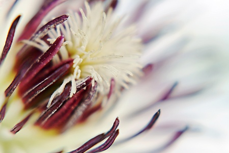 The inside of a clematis flower photo