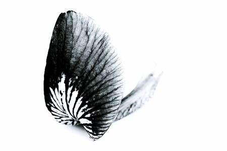 Still Life in black and white - a pretty lily leaf Stock Photo - 16941451