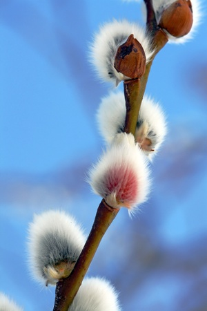 Blooming pussy willow
