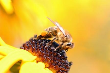 A honeybee at work Stock Photo - 16941530