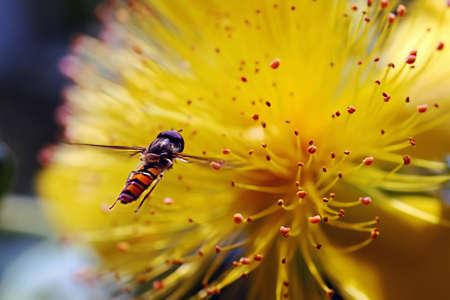 A Schwebefliege approaching a flower Stock Photo - 16941517