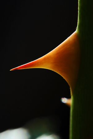 A closeup of a rose thorn photo