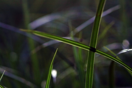 grass blades: Gekreutzte blades of grass in back light