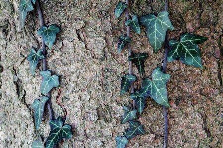 An ivy grows in a trunk  photo