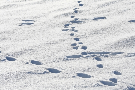 Animal Tracks in Snow Stock Photo