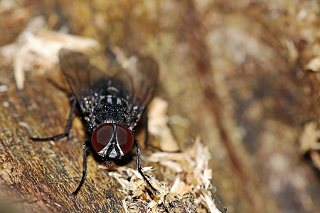 satisfies: A close-up of a blowfly on a wood