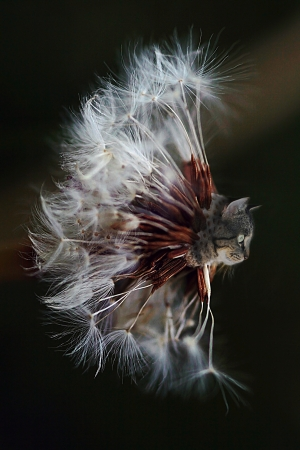 Genetic Engineering - The Cat and the dandelions photo
