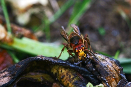 A large hornet eats on a compost heap Stock Photo - 17206536