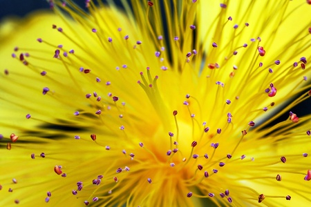 Close-up of a flower of the St John s Wort Stock Photo - 17236830