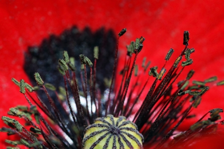 intensely: Close-up of a red poppy blossom