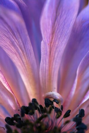 Close-up of the inside of a purple flower Stock Photo - 17263248