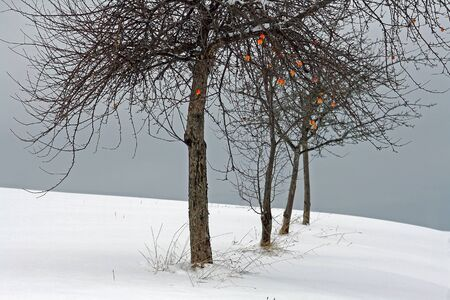 onset: An early onset of winter in Bavaria still the apples on the tree