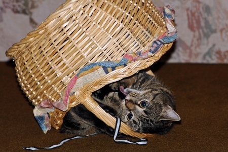 lie forward: A cat has fallen down while playing with the basket