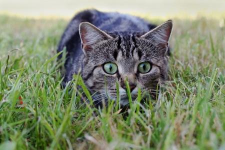 lie forward: cute cat