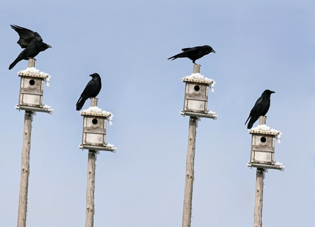 Crows live in a residential area and Stock Photo