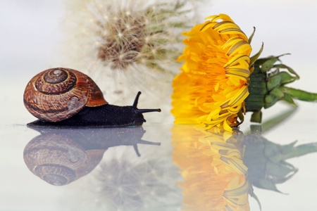 The Snail and the dandelions photo