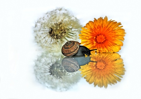 The Snail and the dandelions Stock Photo - 17409643