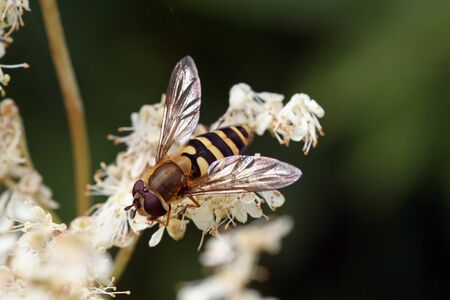 A floating fly on a white flower Stock Photo - 17477700