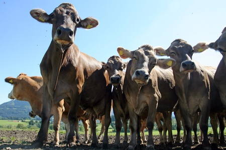 A herd of curious cows Bavarian Stock Photo