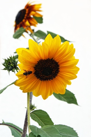 A sunflower with a bee Stock Photo - 17560000