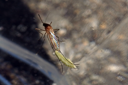 A rare shot - A mosquito lays eggs on the water surface Stock Photo